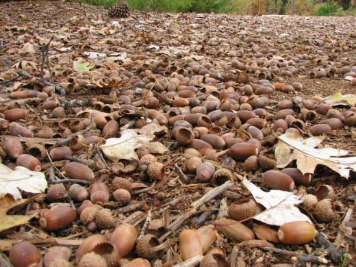 acorn-mastyear.jpg
