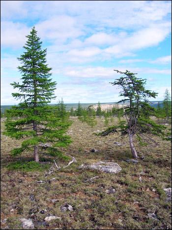 Siberia2008_larch_comparison