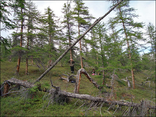 http://wattsupwiththat.files.wordpress.com/2009/10/siberian_larch_trees.jpg?w=640