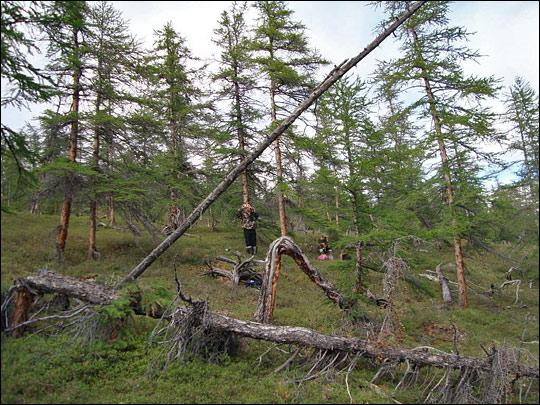 http://wattsupwiththat.files.wordpress.com/2009/10/siberian_larch_trees.jpg?w=700