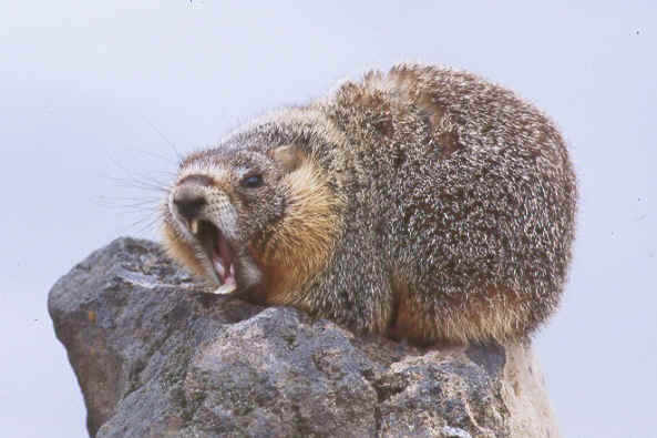 Global Warming Is Making Monster Marmots Watts Up With That