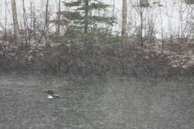 Loon caught in Easter Blizzard on Eastman Lake