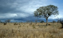 Global climate change is shifting the odds in favor of trees in contrast to grasses, with the consequence that large parts of Africa's savannas may well be forests by 2100. Copyright: Steve Higgins, used with permission