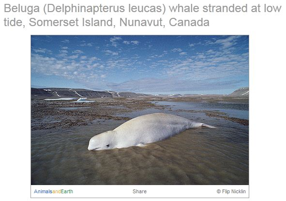 Beluga_flip_original