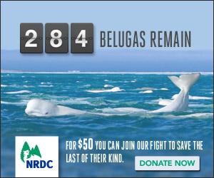 NRDC_YearEnd_Statistic-Belugas_DonateNow_300x250[1]