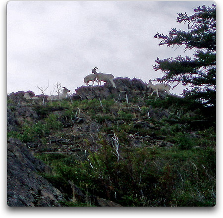 mountain goat turnagin