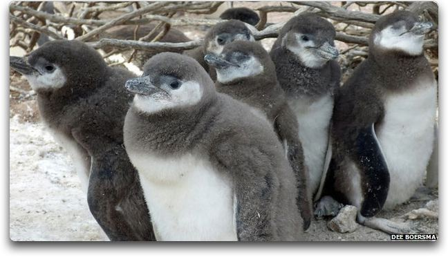 bbc penguins