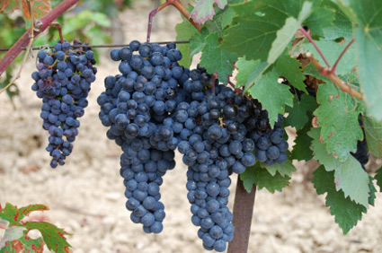 "Tempranillo (also known as Ull de Llebre, Cencibel, Tinto del Pais and several other synonyms) is a black grape variety widely grown to make full-bodied red wines in its native Spain.[1] Its name is the diminutive of the Spanish temprano (""early""),[1] a reference to the fact that it ripens several weeks earlier than most Spanish red grapes."