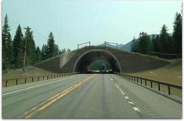 cow overpass