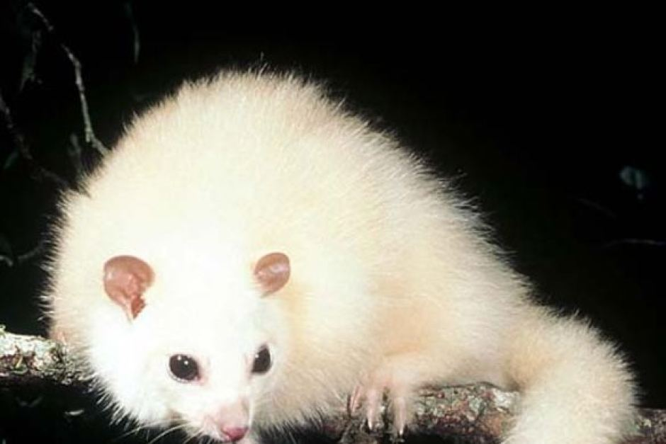 What does a baby possum look like