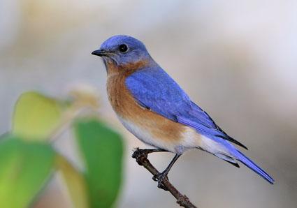 eastern_bluebird