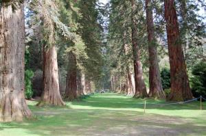 sequoia_trees
