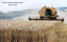 snow-russia-wheat-harvest