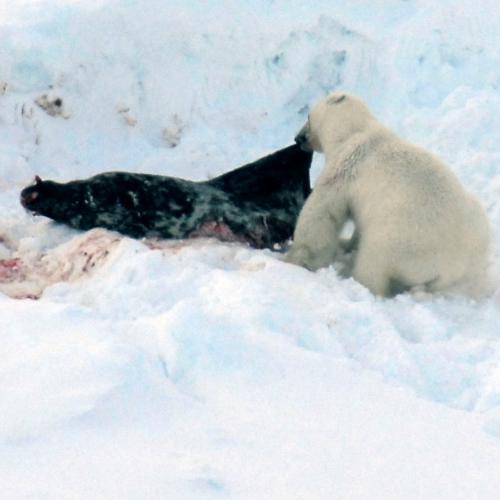 polar-bear-seal