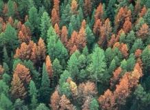 Barkbeetle damaged trees Credit: Colorado State Forest Service