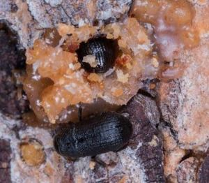 Mountain pine beetles (pictured here) have killed pine forests over more than 140,000 square miles in the western US, but warming winters can't be blamed for the full extent of recent outbreaks in the region, a Dartmouth College and US Forest Service study finds. Credit Jeff Foott