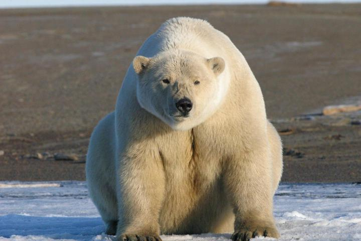 A [fat] polar bear is shown on the north slope of Alaska. Credit: Eric Regehr, U.S. Fish and Wildlife Service