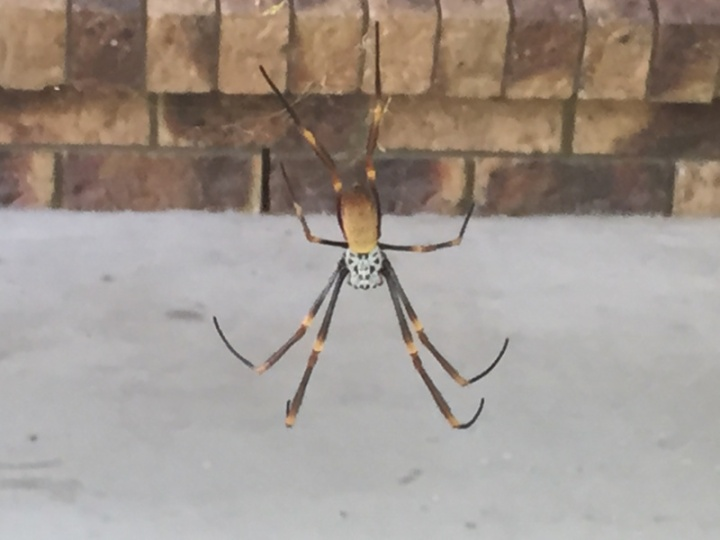 Giant tropical spider