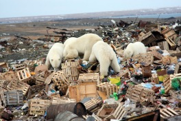 Image result for pics of polar bears in garbage dumps