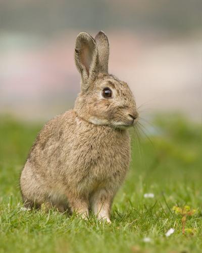 Australian Rabbit