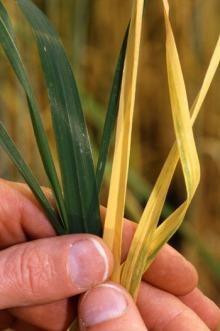 Barley Yellow Dwarf Disease - public domain Wikimedia image, uploaded to Wikimedia by Mattflaschen