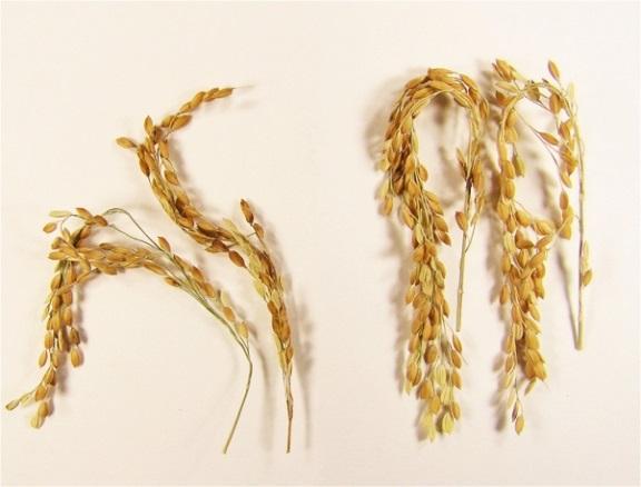 GMO-rice