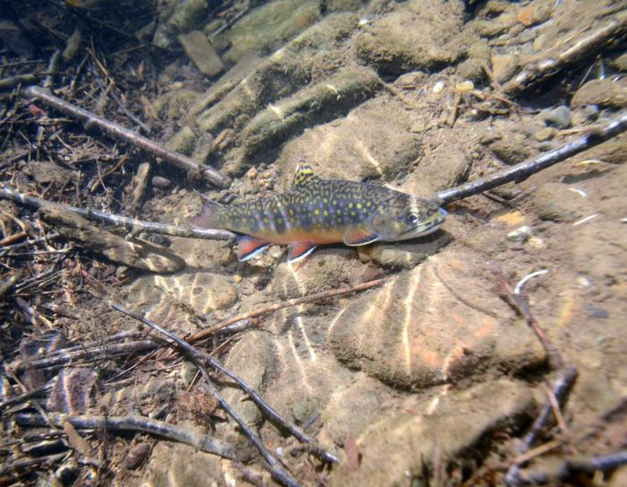 This is an eastern brook trout. CREDIT: Penn State