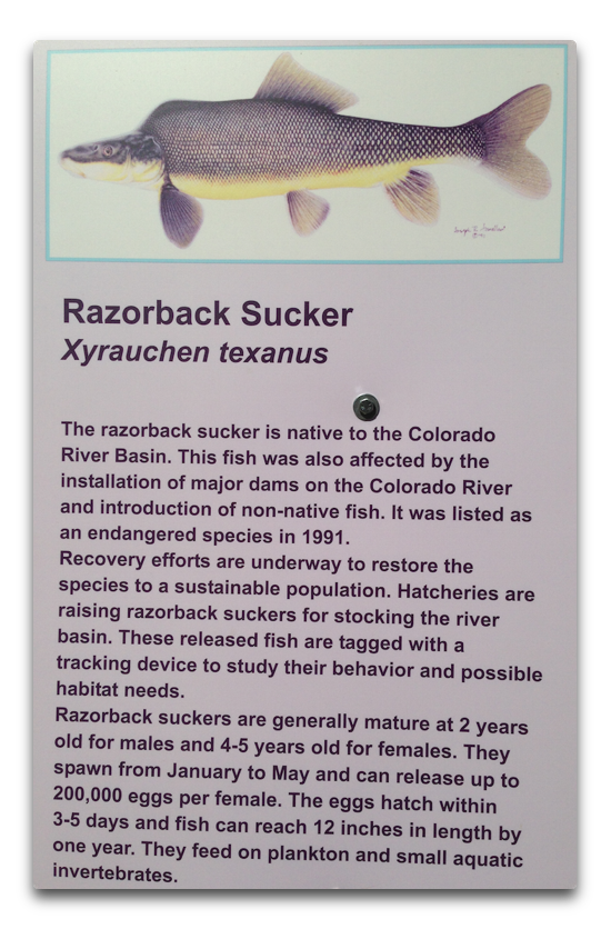 gc razorback sucker