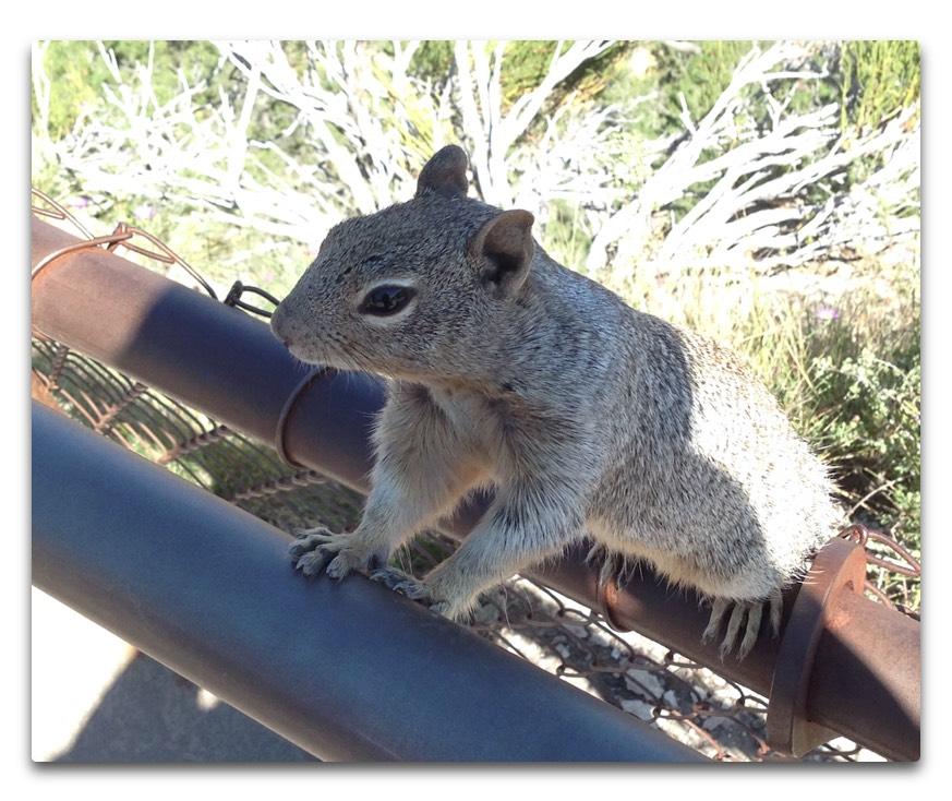 gc squirrel