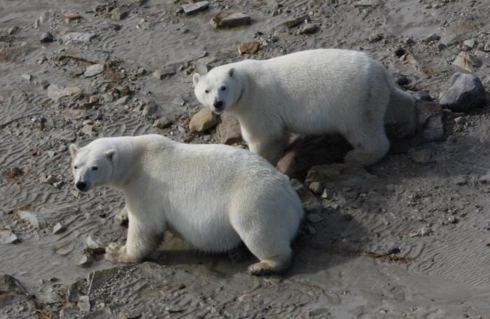 Two polar bears were photographed near the coast of the Western Hudson Bay, where researchers have shown bears are consuming land-based foods during ice-free periods. CREDIT © AMNH/R. Rockwell