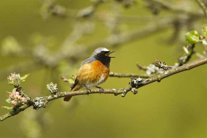 Long-distance migrants like the Common Redstart benefit from warmer summers in Europe. CREDIT Mark Hamblin (rspb-images.com)