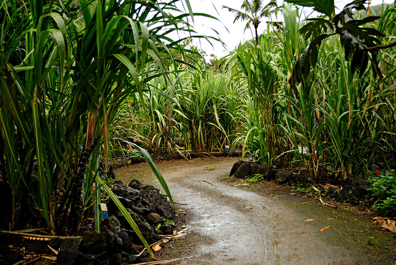 Path between the sugar cane - Uploaded by Jacopo Werther, Author Daniel Ramirez from Honolulu, USA https://commons.wikimedia.org/wiki/File:Path_between_sugar_canes_(5216462193).jpg