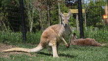Kangaroo at Columbus Zoo and Aquarium, Author Drex Rockman