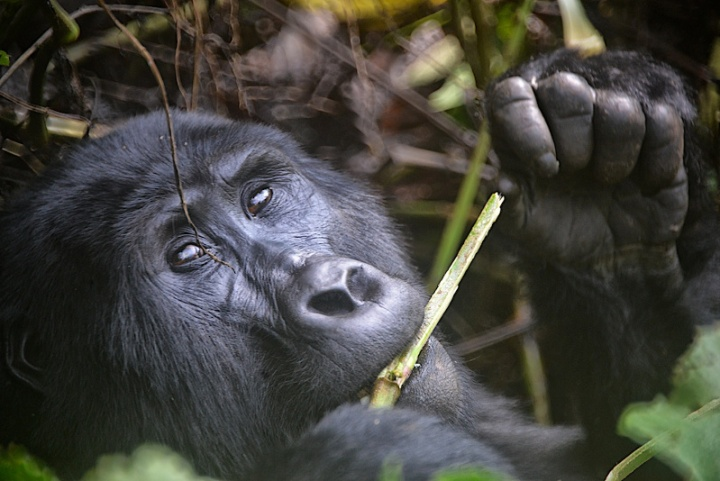 Casual, Great Ape, Uganda, Author Rod Waddington from Kergunyah, Australia, Source Wikimedia