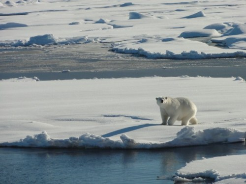 climate change effect on polar bears Polar bears are among the animals most affected by the seasonal and year-to-year decline in arctic sea ice extent, because they rely on sea ice for essential.