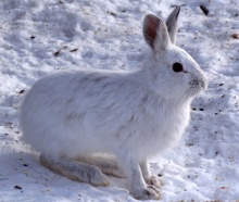 """Snowshoe Hare, Shirleys Bay"" by D. Gordon E. Robertson - Own work. Licensed under CC BY-SA 3.0 via Commons - https://commons.wikimedia.org/wiki/File:Snowshoe_Hare,_Shirleys_Bay.jpg#/media/File:Snowshoe_Hare,_Shirleys_Bay.jpg"