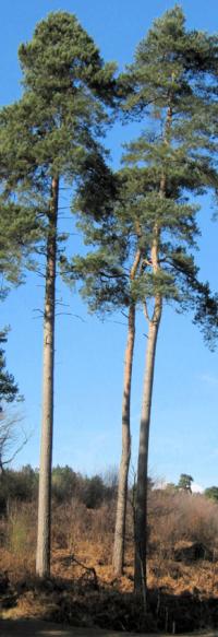 Scots Pines (Pinus Sylvestus)