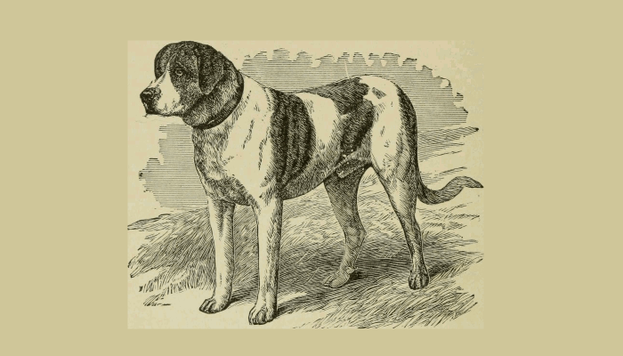 "1919 image of a St Bernard, from the book ""The Dogs of Great Britain, America and Other Countries""."