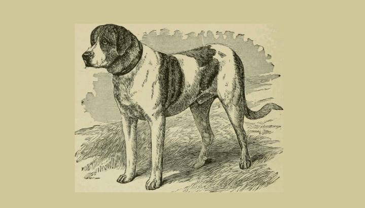 """1919 image of a St Bernard, from the book """"The Dogs of Great Britain, America and Other Countries""""."""