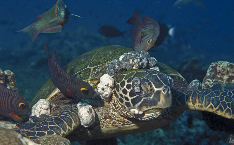Bull Warming is causing turtles to get Herpes 1