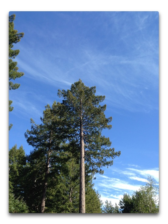 redwoods and mares tails