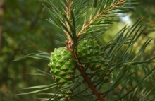 The Scots Pine - cones (Pinus sylvestris), near Boronów, Poland, By Pleple2000 - Own work, GFDL, https://commons.wikimedia.org/w/index.php?curid=4522011