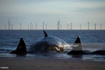 Are vibrations from offshore wind turbine farms killing whales