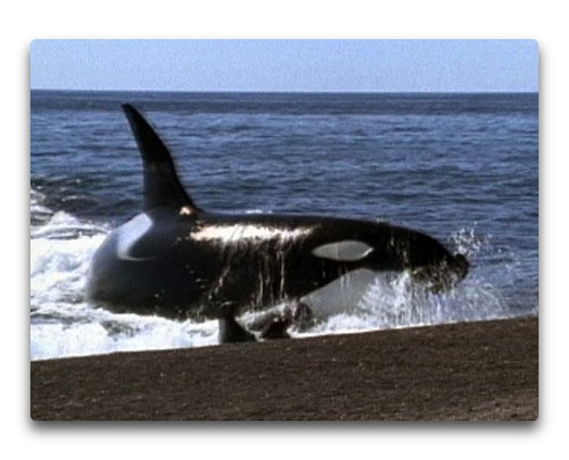 killer whale on beach