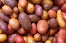 Different potato varieties. – The potato is the vegetable of choice in the United States. On average, Americans devour about 65 kg of them per year. New potato releases by ARS scientists give us even more choices of potatoes to eat.