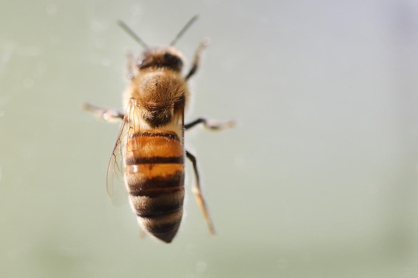 Bees rely on goldenrod pollen as a food source, but it's less nutritious than it used to be due to rising CO2 levels, a Purdue University study finds. CREDIT (Purdue University/Tom Campbell)