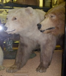 Polar/brown bear hybrid, Rothschild Museum, Tring