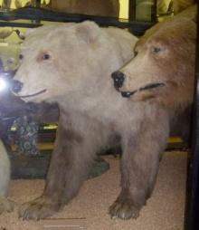 Polar/brown bear hybrid, Rothschild Museum, Tring