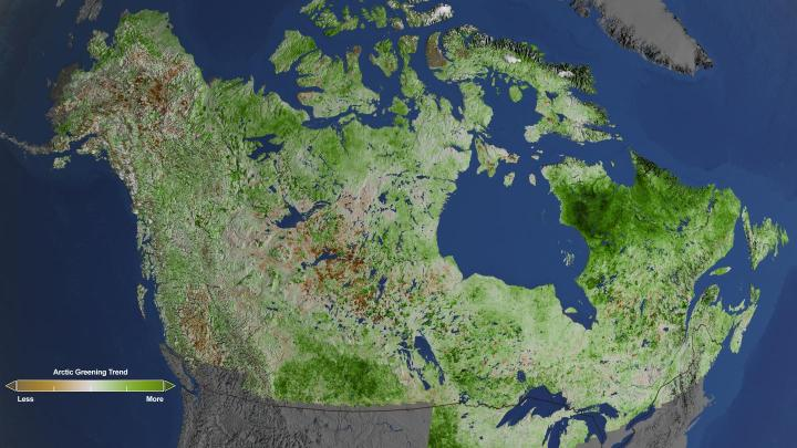 Using 29 years of data from Landsat satellites, researchers at NASA have found extensive greening in the vegetation across Alaska and Canada. Rapidly increasing temperatures in the Arctic have led to longer growing seasons and changing soils for the plants. Scientists have observed grassy tundras changing to scrublands, and shrub growing bigger and denser. From 1984-2012, extensive greening has occurred in the tundra of Western Alaska, the northern coast of Canada, and the tundra of Quebec and Labrador. CREDIT NASA's Goddard Space Flight Center/Cindy Starr