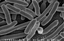 ecoli-bacteria